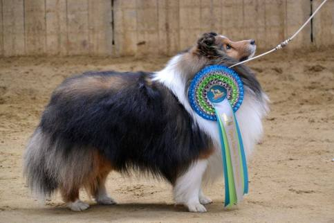 Res. BIS at Arnhem '17 under Sheltie breeder judge Iris Bonink-Lammers (NL)